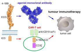 华中科技大学Nature子刊取得肿瘤免疫治疗活化研究新进展