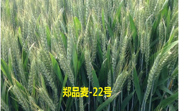 郑品麦22通过国家级审定