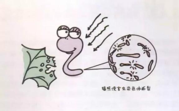 辐照技术如何阻止害虫繁殖?