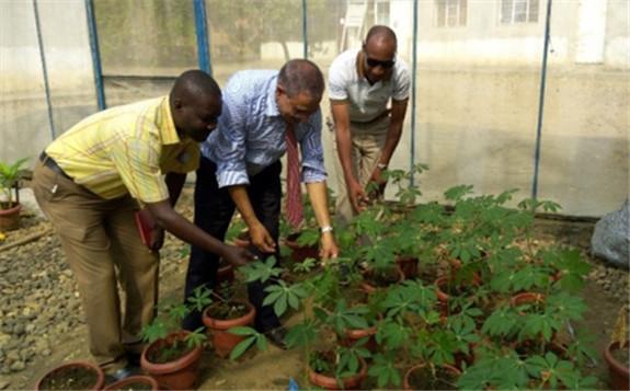 利用核技术抗击布隆迪的两种主要木薯疾病