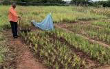 国际原子能机构和粮农组织帮助桑给巴尔种植更多水稻