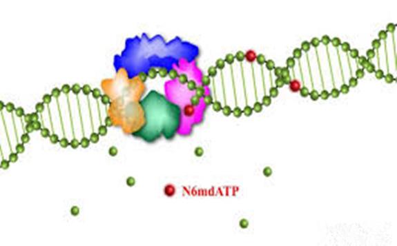 中国科学院:在哺乳动物DNA N6-甲基腺嘌呤研究方面取得新进展