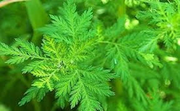 利用辐照育种培育青蒿新品系,产量可达220公斤以上