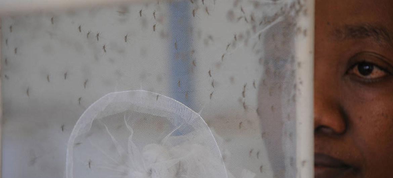 实验室中的蚊子:将蚊子使用的静态水清除有助于预防寨卡病毒的传播。粮农组织图片/Simon Miana