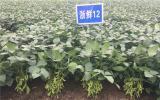 核技术培育的新品种各有所长,浙江省农科院延长毛豆供应季