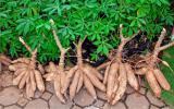 <font color=red>诱变育种</font>技术在木薯育种中的应用