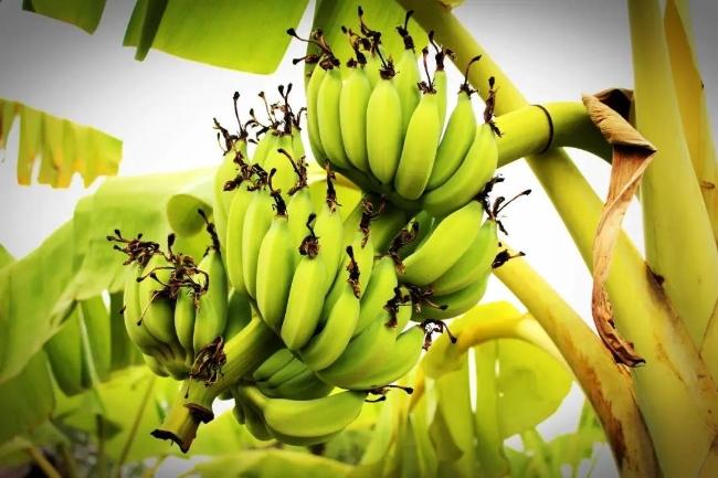 香蕉辐射到底是怎么来的?香蕉的放射性对人体有影响吗?