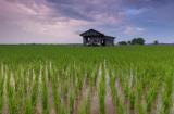 同位素示踪技术研究应用:微生物如何对稻米中有害的汞产生影响