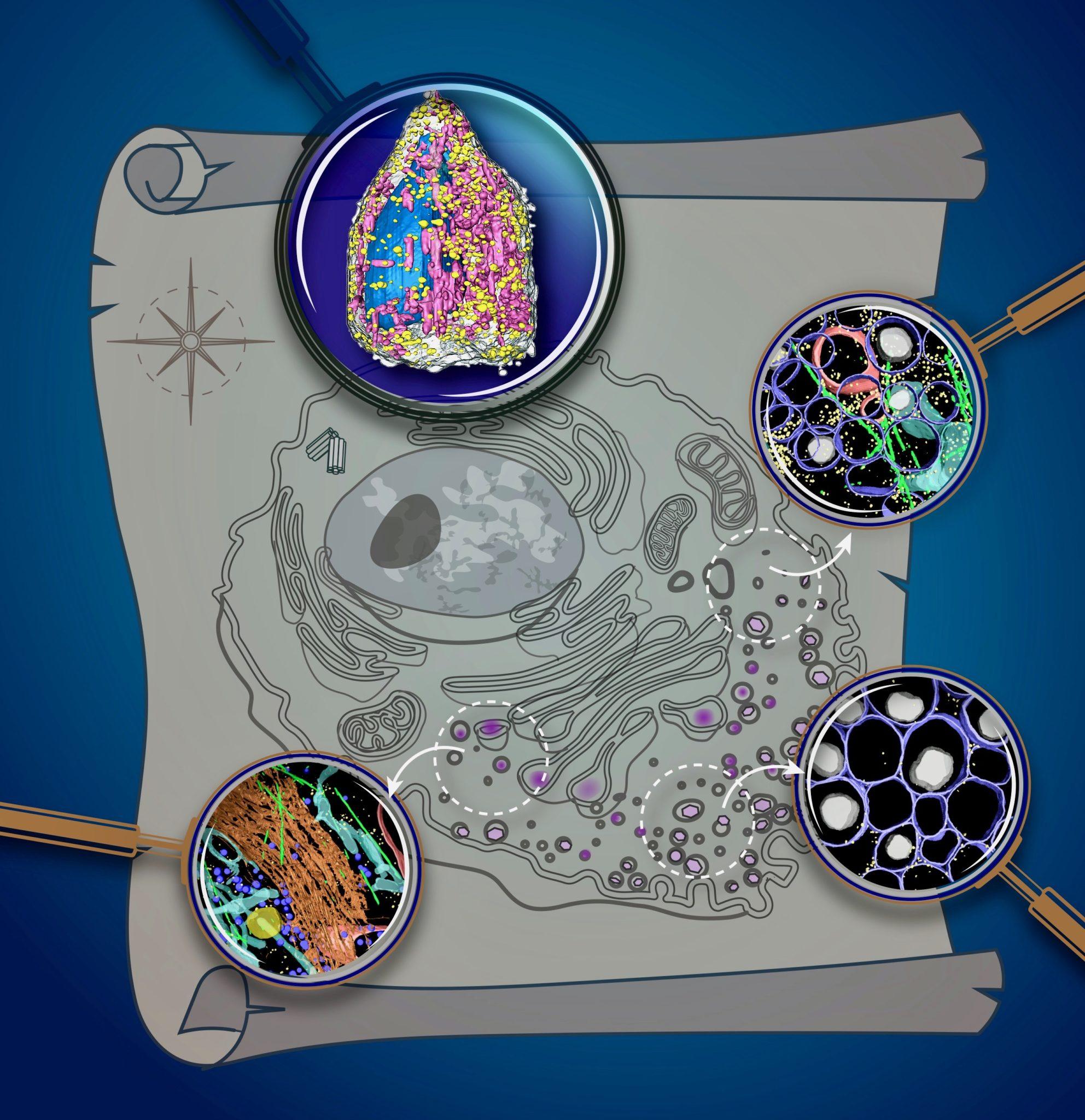 独特的X射线显微镜显示出令人眼花缭乱的3D细胞图像