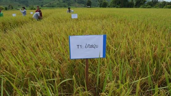 利用核技术改进土壤和养分管理措施可提高老挝的水稻产量