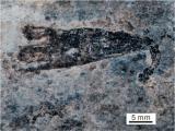 """利用硫同位素分析方法发现6亿年前深海动物首次拥有了""""吸氧自由"""""""