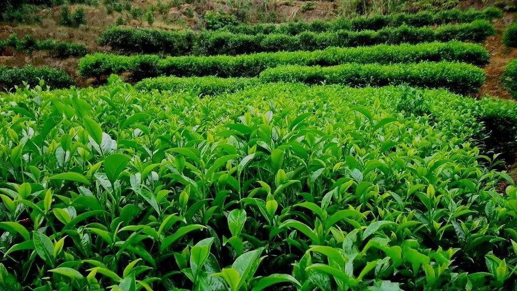 辐射海藻酸钠可以提高茶树的生产力和抗真菌能力