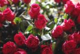情人节:玫瑰鲜切花辐照保鲜延长花期的研究