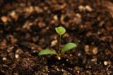 嫦娥五号带上天的种子陆续出苗发芽!打赢中国种业翻身仗