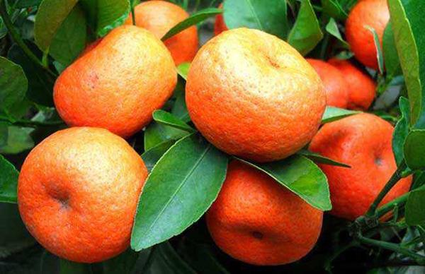 """""""网红""""柑橘发展迅猛 还有经过辐射诱变处理的新品种!"""