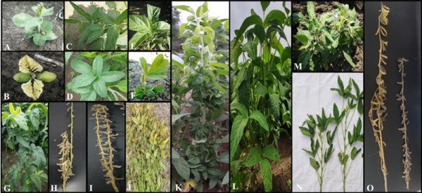 东北地理所在碳离子束辐照诱变大豆效应及育种研究中获进展