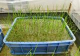 登月航二代种子成功育苗 有望月底栽入田间