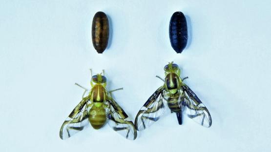 国际原子能机构在虫害遗传性别分离方面的进展
