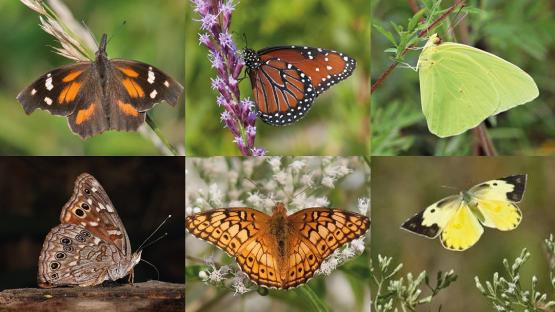 借助IAEA数据库和稳定同位素方法研究六种蝴蝶的迁徙