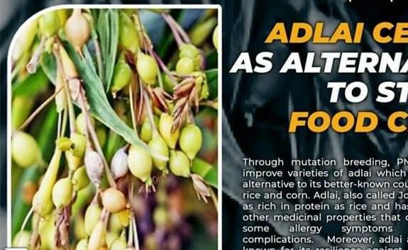 """菲律宾国家研究人员正在开发 """"抗肿瘤 """"的薏米作为替代主食作物"""