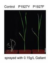 地毯式筛选:引导编辑实现水稻定向进化